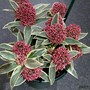 Skimmia japonica