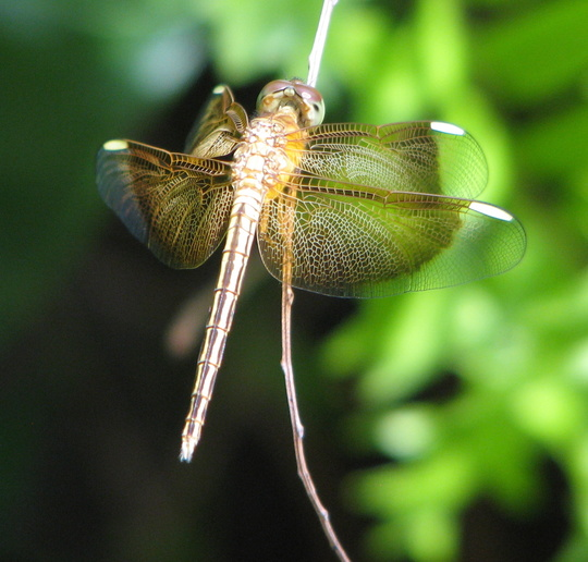 Dragonflies are everywhere in the garden this week.
