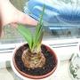 Slow amaryllis