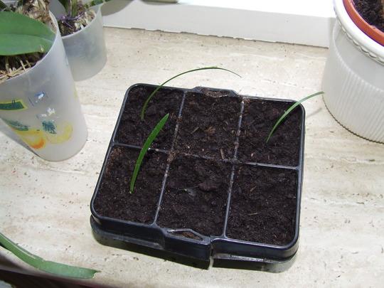 amaryllis seedlings