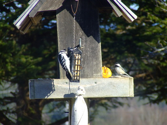 Female Downy woodpecker and a chickadee