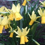 Narcissus 'Little Witch' group.