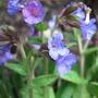 Pulmonaria angustifolia subs. azurea (Pulmonaria angustifolia (Blue Cowslip))