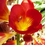 Red_freesia