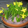 A slash of yellow (narcissus)