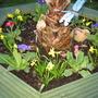 Polyanthus and Tete a Tete (Primula polyanthus (Primrose))