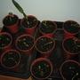 Seedlings (Calendula)