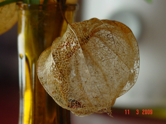 Chinese Lantern (Physalis franchetii)