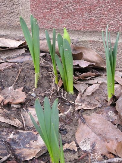 Daffodils ready to rock