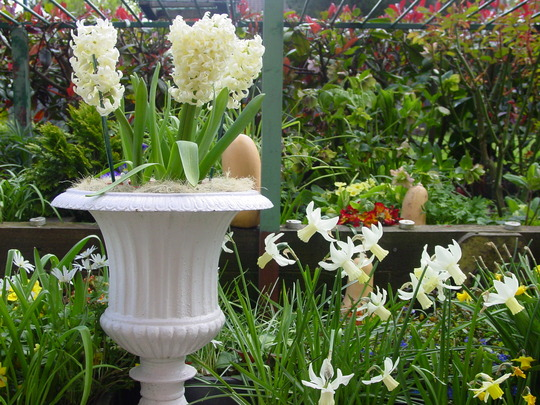 Hyacinths/narcissi