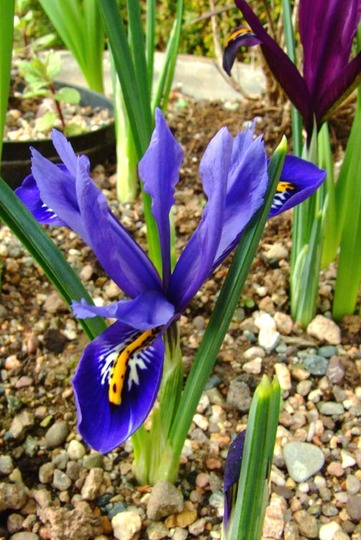 dwarf iris (Iris reticulata (Iris))