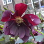 Helleborus orientalis 'Harvington Double Purple' - 2009 (Helleborus orientalis)