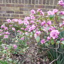 Rhododendron 'Praecox' (Rhododendron 'Praecox')