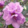 Rhododendron 'Praecox' - close-up (Rhododendron 'Praecox')