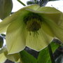 Helleborus orientalis - yellow (Helleborus orientalis)