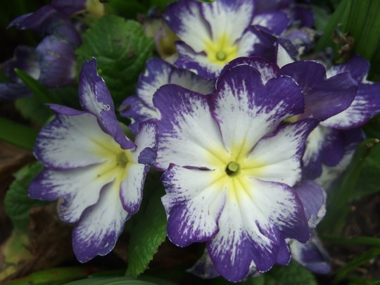 Shaded Primula.