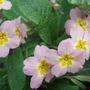 Pale_pink_primroses