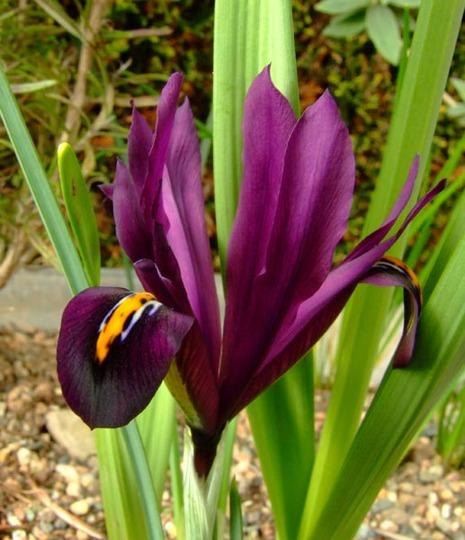 Red Wine (Iris reticulata (Iris))