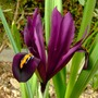 Red Wine (Iris reticulata (Iris))