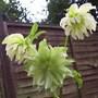 Hellebore (Helleborus orientalis) (Helleborus orientalis (Lenten rose))