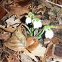 double flowered Snowdrops (Galanthus nivalis (Common snowdrop))