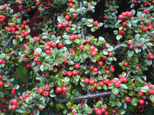 Cotoneaster's berries (2008) (Cotoneaster)