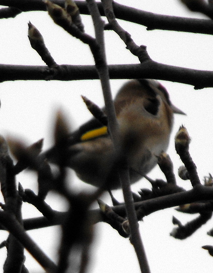 "My 1st Photo Of A Gold Finch :)   ""Blog"""