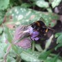 Large_bumblebee_on_pulmonaria