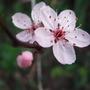 Blossom opening on my flowering tree. (Prunus cerasifera (Purple plum))