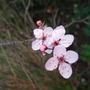 Blossom (Prunus cerasifera (Purple plum))