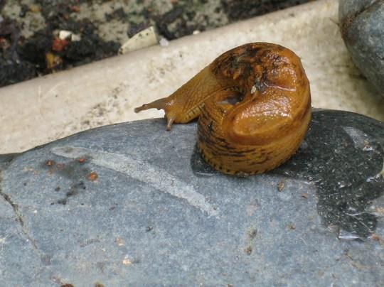 Slug on a pebble