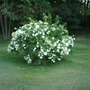SNOWBALL SHRUB