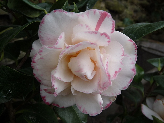 Camellia - Margaret Davis picote