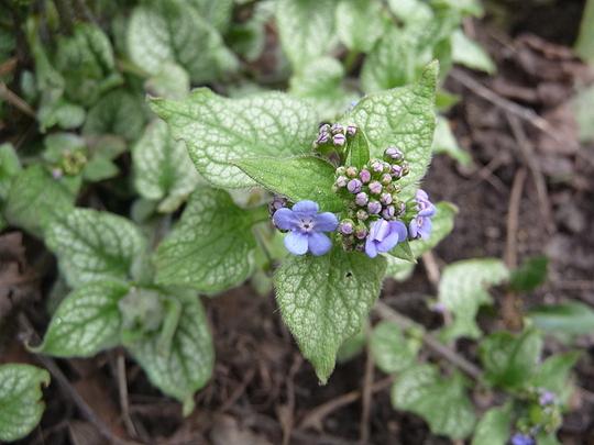 Brunnera Macrophylla - 'Jack Frost '
