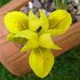 Miniature Iris danfordiae.