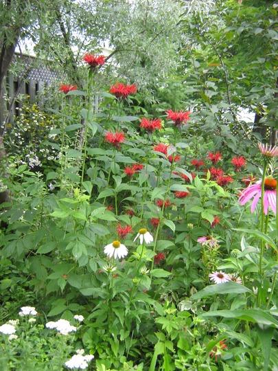 echinacea, monarda, and raspberry, etc.