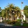 Phoenix reclinata - Senegal Date Palms (Phoenix reclinata - Senegal Date Palms)