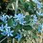 Blue star (Tweedia caerulea)