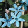 Blue star, close-up (Tweedia caerulea)