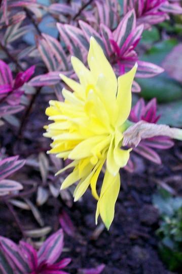 Rip van Winkle (Narcissus)