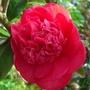 Camelia_in_bloom_150309.jpg