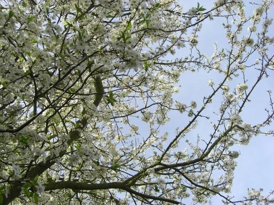 Cherry_tree_in_bloom_150309.jpg