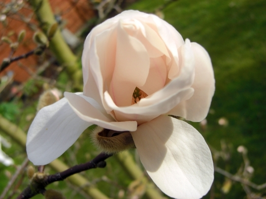 Magnolia_starting_to_flower_150309.jpg