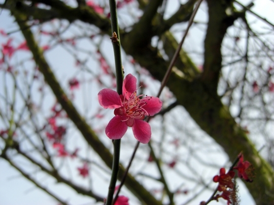 Japanese_minature_bloom_150309.jpg (Prunus mume 'Beni-Chidori')