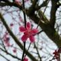 Japanese_minature_bloom_150309