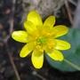 Wild flower  - Lesser Celandine