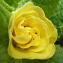 Primula 'Butter Yellow' - 2009