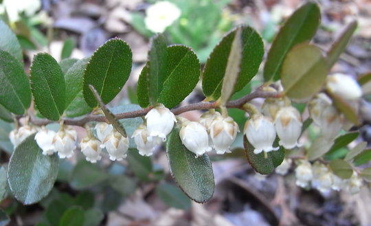 Chamaedaphne calyculata 'Nana' (Chamaedaphne calyculata 'Nana')