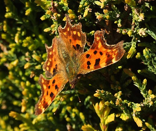 Comma - first butterfly this year.