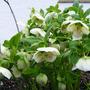 Helleborus_orientalis_hyb._1